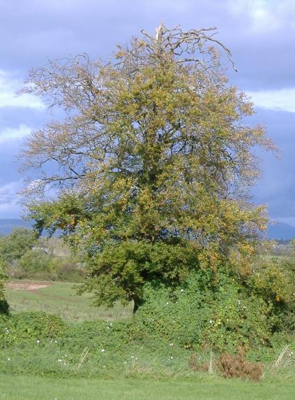 Corbies' tree in Autumn